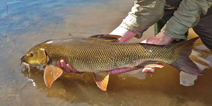 Catch & Release. Common Barbel
