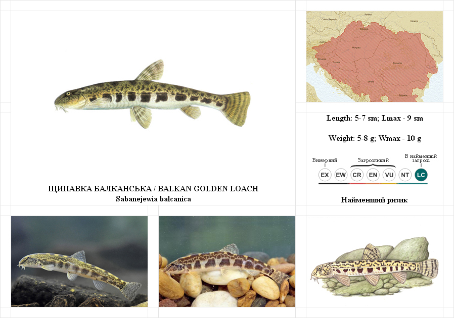 balkan-golden-loach