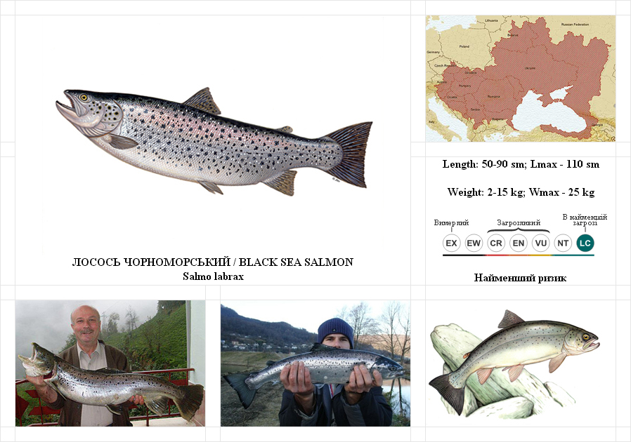 black-sea-salmon