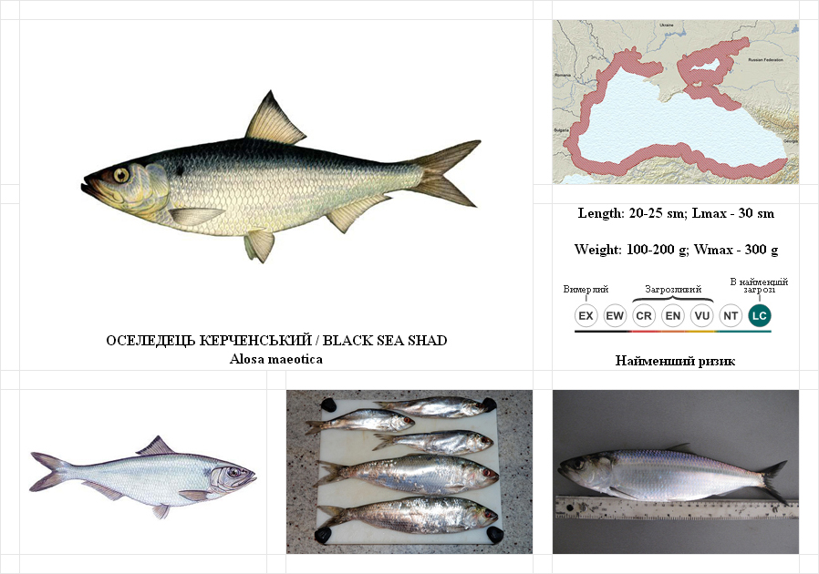 black-sea-shad