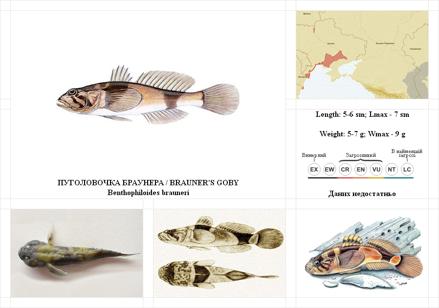 brauners-goby