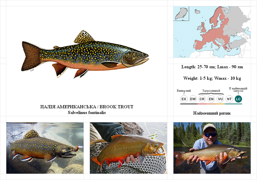 brook-trout-1