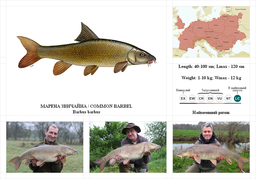 common-barbel
