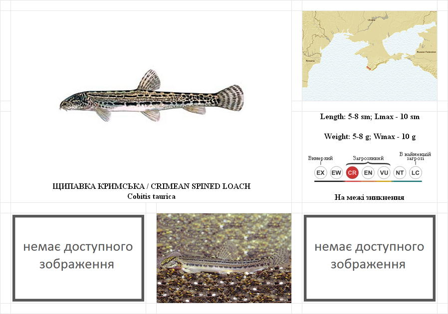 crimean-spined-loach