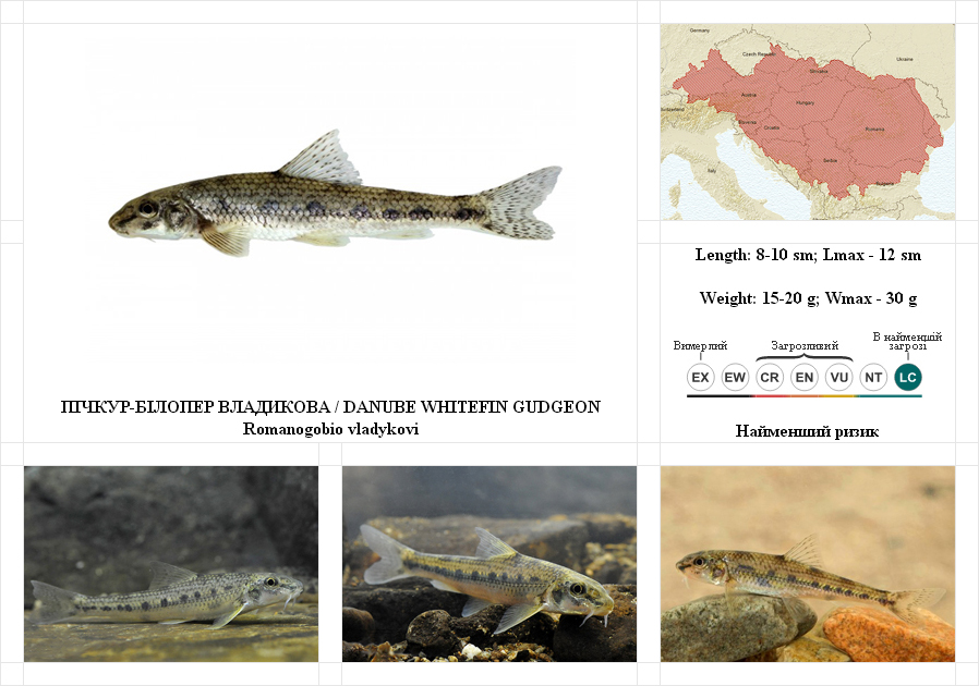 danube-whitefin-gudgeon