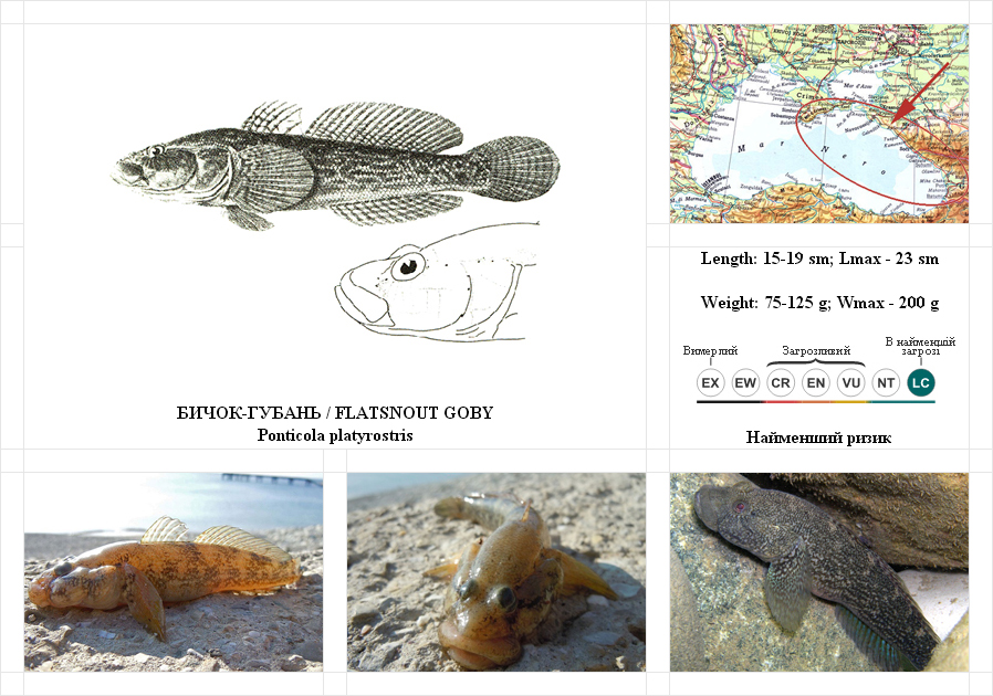 flatsnout-goby