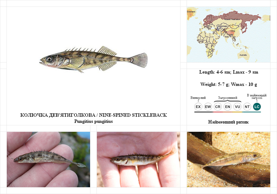 nine-spined-stickleback
