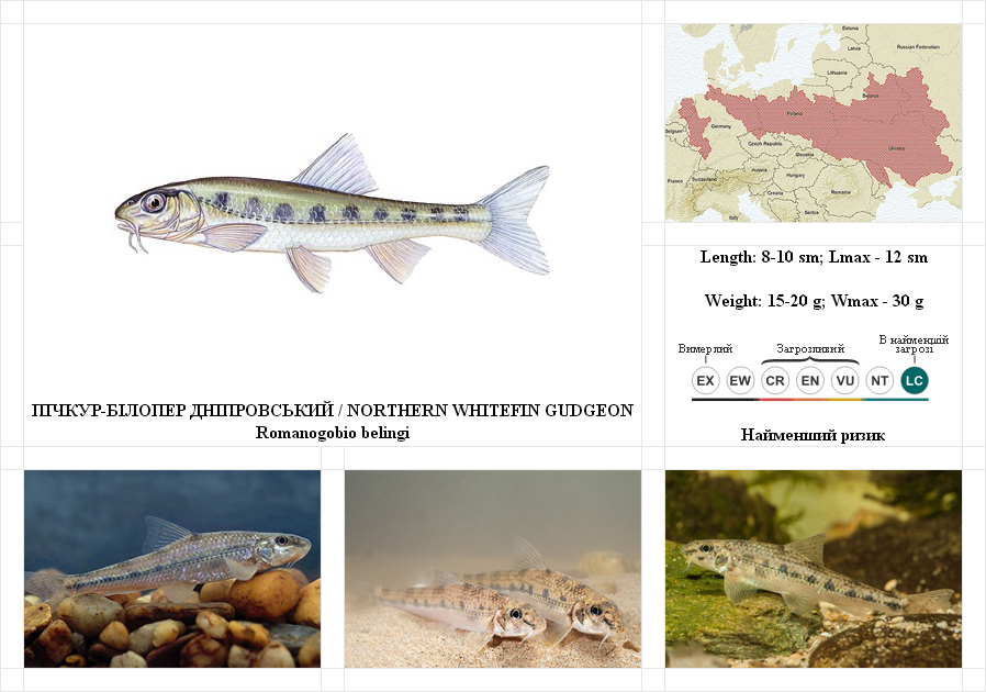 northern-whitefin-gudgeon2
