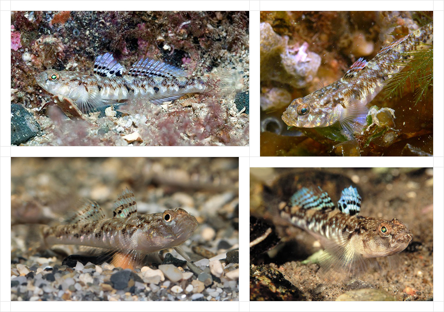 painted-goby4