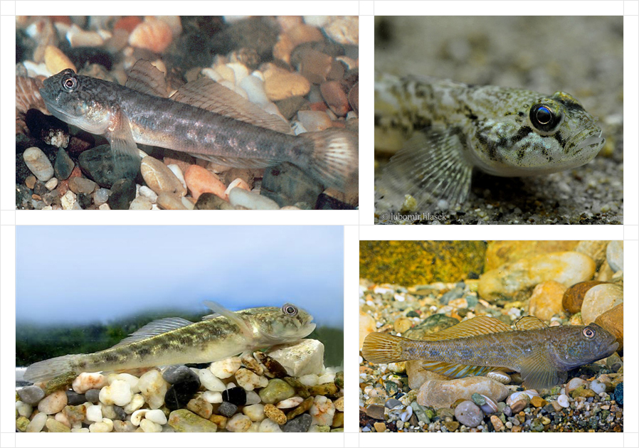 racer-goby4