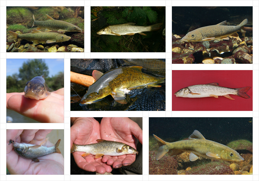 romanian-barbel-fb