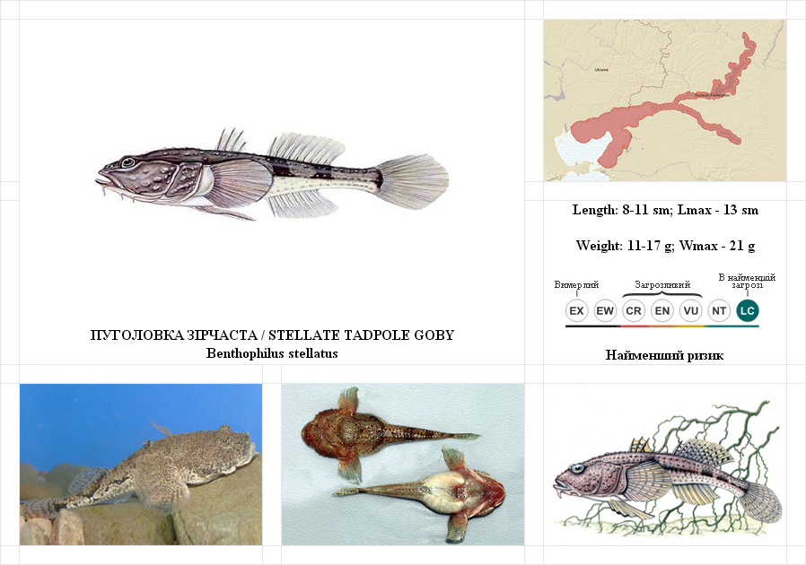 stellate-tadpole-goby