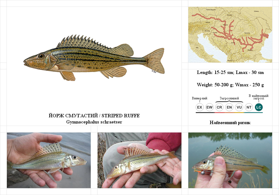 striped-ruffe