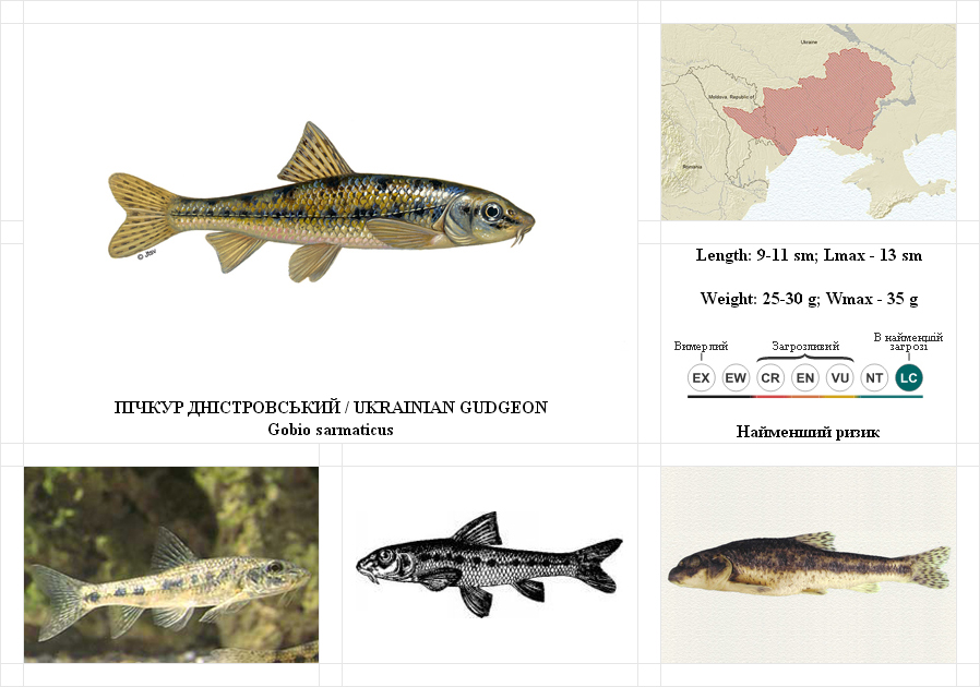 ukrainian-gudgeon