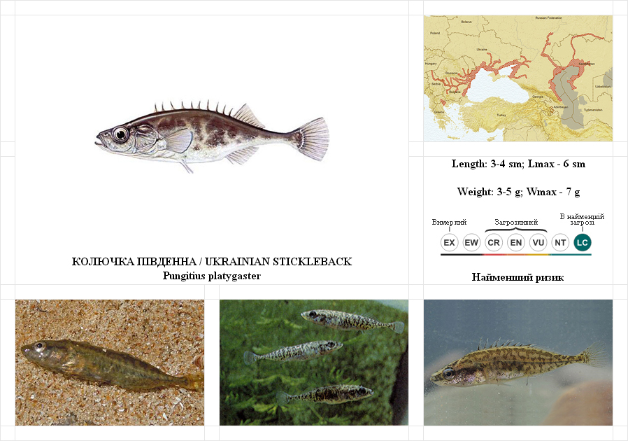 ukrainian-stickleback