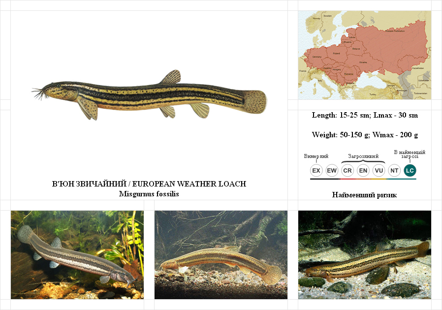 weather-loach