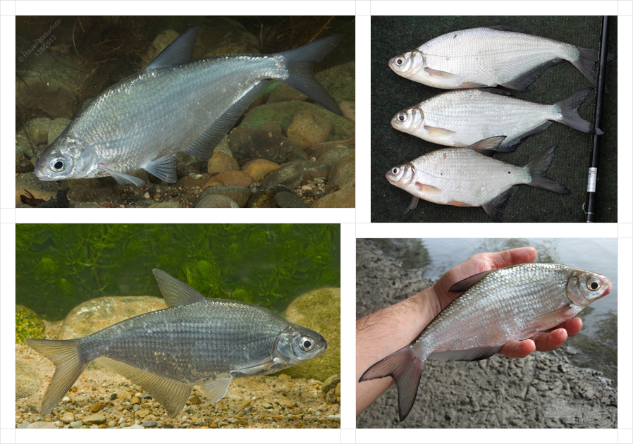 white-eye-bream4