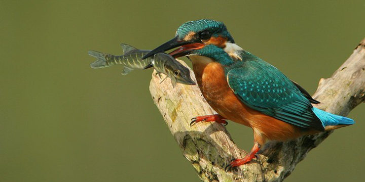 Birds Fishing. Kingfisher