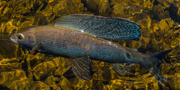arctic-grayling