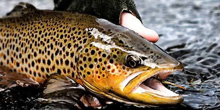 Fish Close-Up. Brown Trout