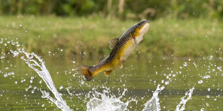 brown-trout