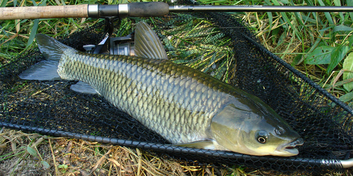 In Tne Net. Grass Carp