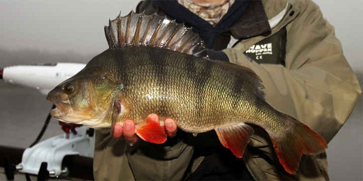 Fish Species. European Perch