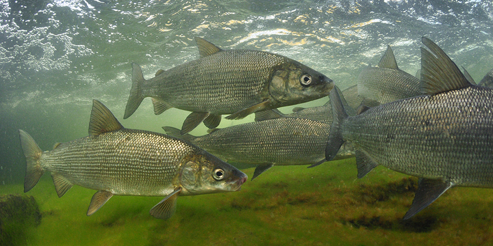 Spawning. Common Whitefish