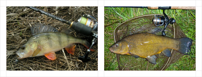 314x220-perch-tench