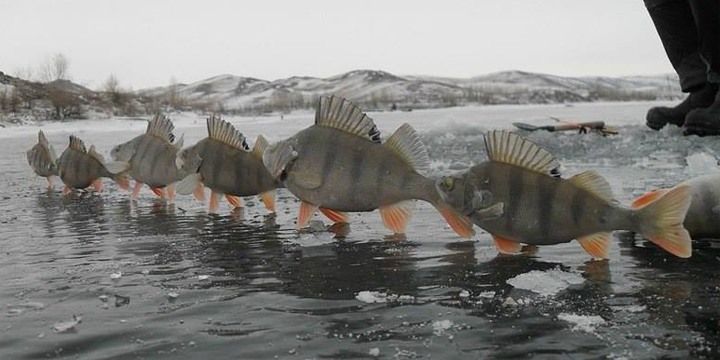 WinterArt. European Perch